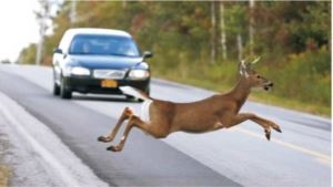 Deer Running into the Road